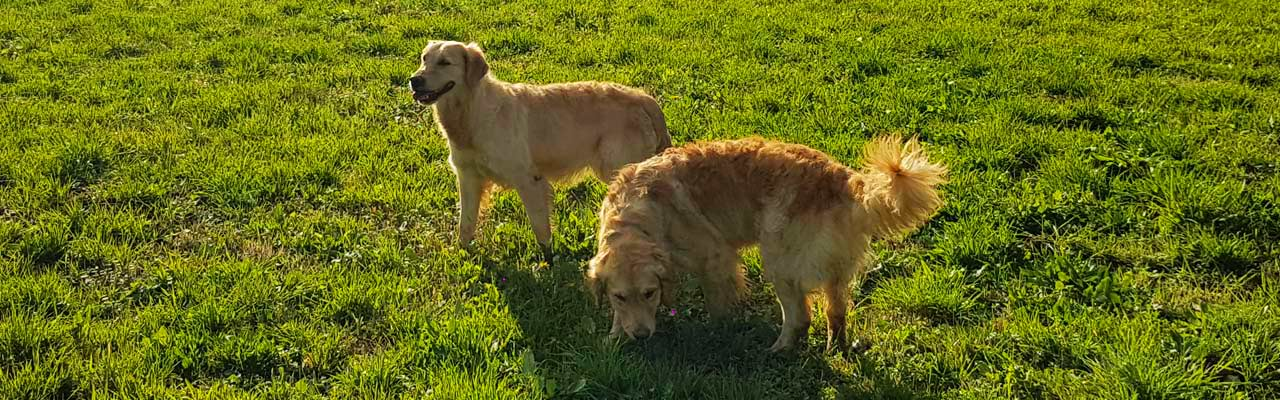Allevamento Golden Retriever Cucciolo