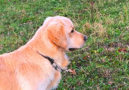 Allevamento Golden Retriever Cucciolo