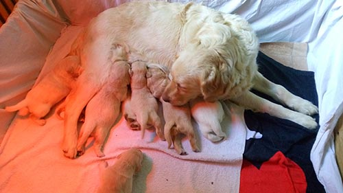 Golden Retriever Cucciolata