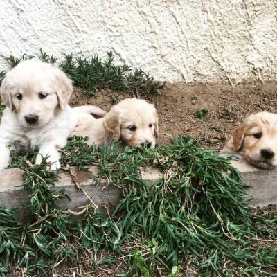 Cuccioli Golden Retriever