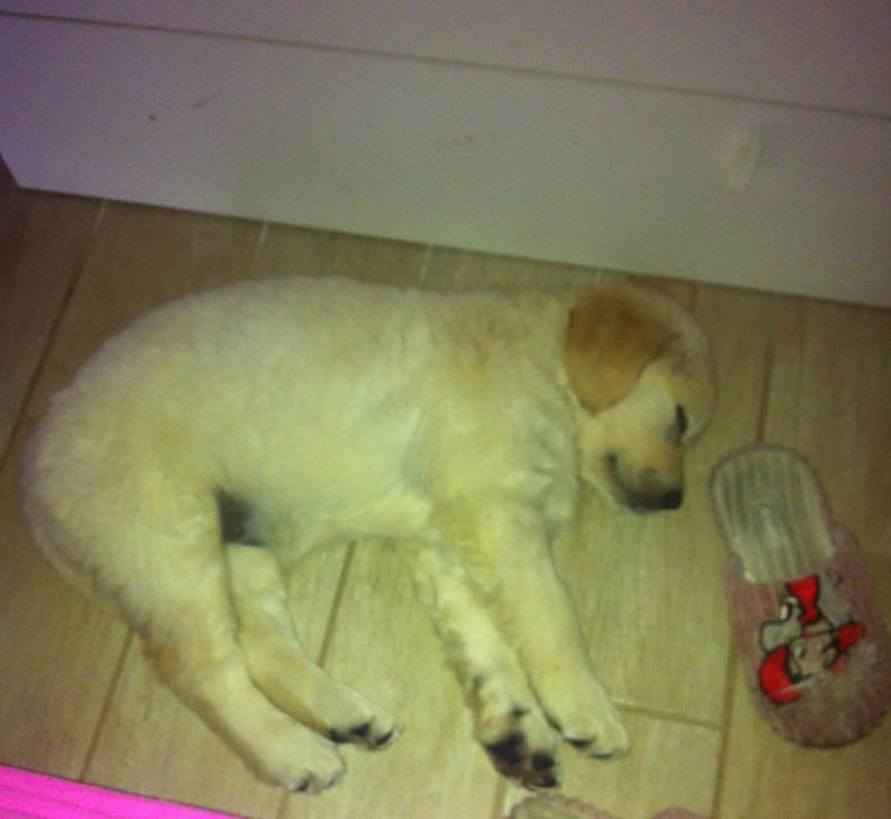 Golden Retriever Cucciolo che dorme sdraiato