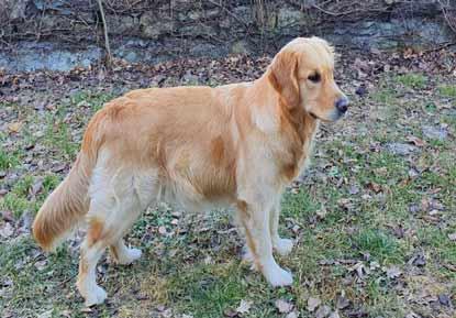 Golden Retriever Cucciolo Olly